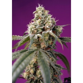 Bruce Banner Auto - Sweet Seeds femminizzati Sweet Seeds €25,00