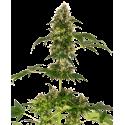 Cobalt Haze - Sensi Seeds femminizzati