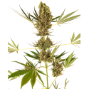 Alpine Delight CBD Automatic - Sensi Seeds femminizzati