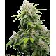 California Indica - Sensi Seeds femminizzati Sensi Seeds €32,50