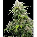 California Indica - Sensi Seeds femminizzati