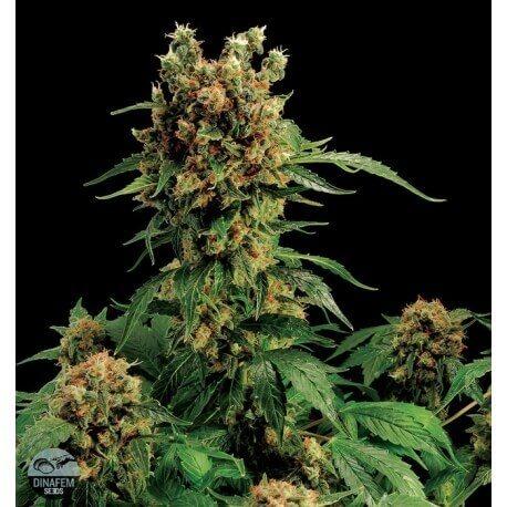 California Hash Plant - Dinafem femminizzati Dinafem €29,00
