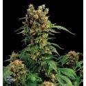 California Hash Plant - Dinafem femminizzati