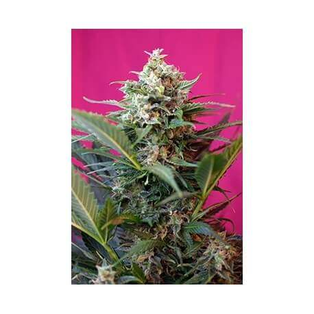 Big Devil XL Auto - Sweet Seeds femminizzati Sweet Seeds €26,50
