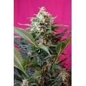 Big Devil XL Auto - Sweet Seeds femminizzati