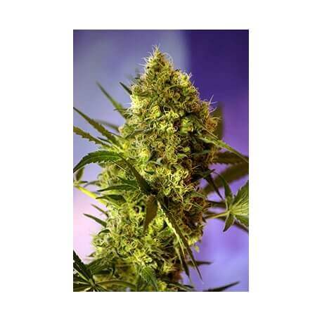 Big Devil 2 Auto - Sweet Seeds femminizzati Sweet Seeds €25,00