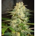 Afghan Kush Ryder Auto - World of Seeds femminizzati