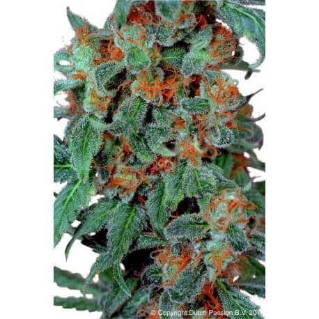 Orange Bud - Dutch Passion femminizzati Dutch Passion €24,00