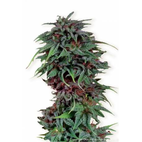 Durban Poison - Dutch Passion femminizzati Dutch Passion €23,00