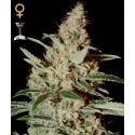 Chemdog - GreenHouse Seeds femminizzati