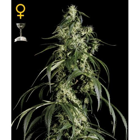 Arjan's Haze 1 - GreenHouse Seeds femminizzati GreenHouse Seeds €32,50