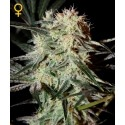 Arjan's Strawberry Haze - GreenHouse Seeds femminizzati