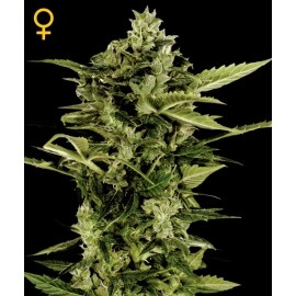 Auto-Bomb - GreenHouse Seeds femminizzati GreenHouse Seeds €25,00