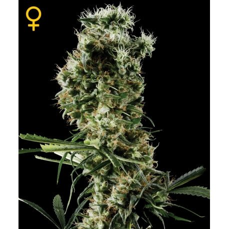 Arjan's Haze 2 - GreenHouse Seeds femminizzati GreenHouse Seeds €32,50