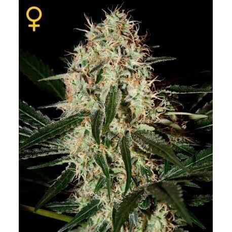 Arjan's Haze 3 - GreenHouse Seeds femminizzati