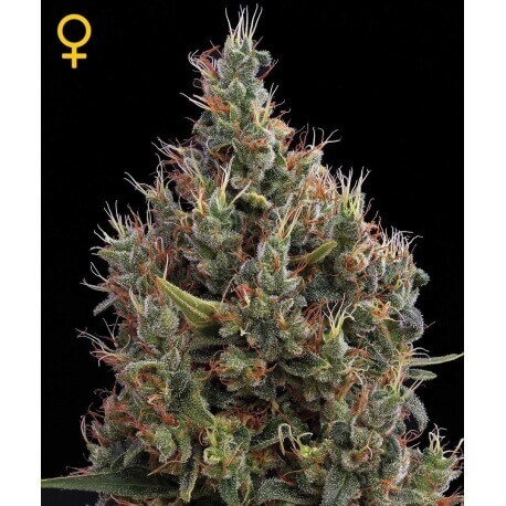 Big Bang Autofiorenti - GreenHouse Seeds femminizzati GreenHouse Seeds €25,00