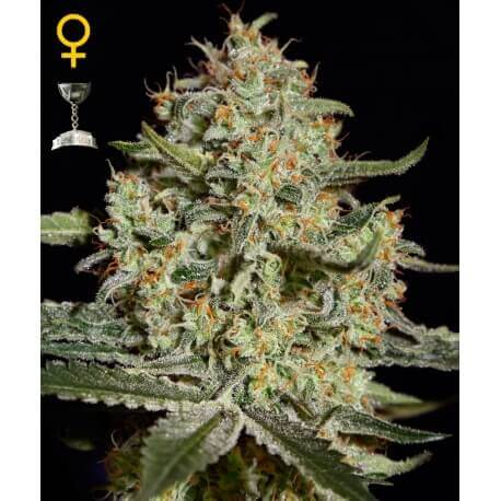 Big Bang - GreenHouse Seeds femminizzati GreenHouse Seeds €25,00