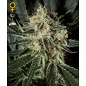 Cheese - GreenHouse Seeds femminizzati