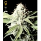 Great White Shark - GreenHouse Seeds femminizzati GreenHouse Seeds €29,00