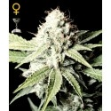 Great White Shark - GreenHouse Seeds femminizzati