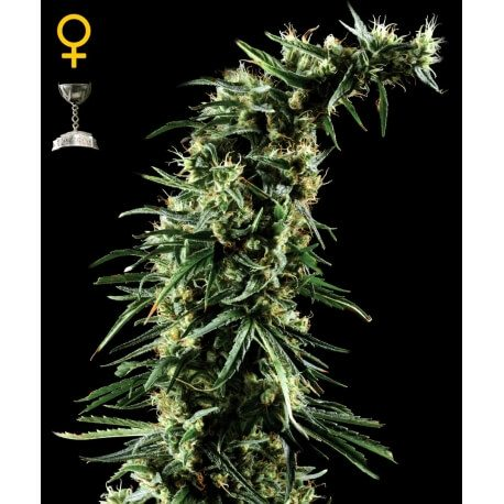 Hawaiian Snow - GreenHouse Seeds femminizzati GreenHouse Seeds €32,50