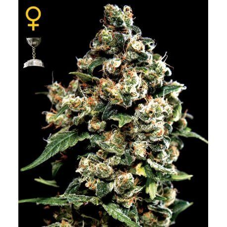 Jack Herer - GreenHouse Seeds femminizzati GreenHouse Seeds €25,00