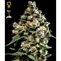 Jack Herer - GreenHouse Seeds femminizzati