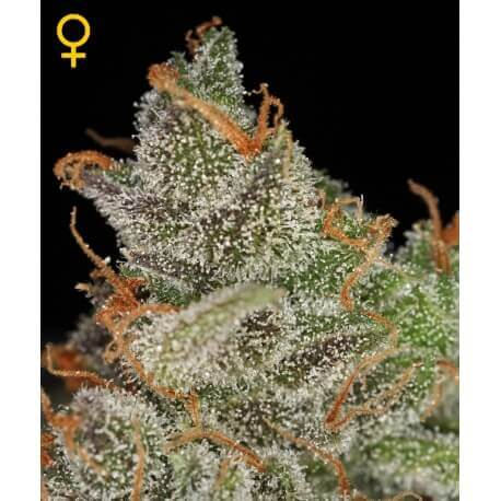 King's Kush - GreenHouse Seeds femminizzati GreenHouse Seeds €25,00