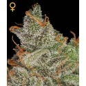 King's Kush - GreenHouse Seeds femminizzati