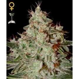 Lemon Skunk - GreenHouse Seeds femminizzati