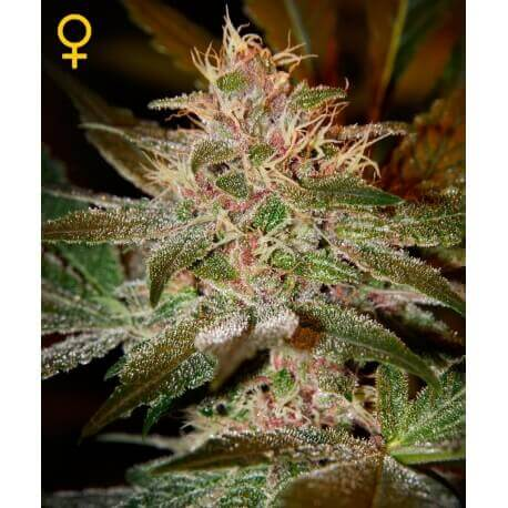 Pure Kush - GreenHouse Seeds femminizzati GreenHouse Seeds €22,50