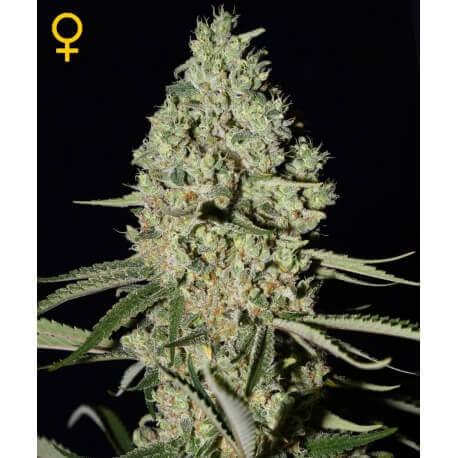 Super Critical - GreenHouse Seeds femminizzati GreenHouse Seeds €25,00