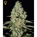 Super Critical - GreenHouse Seeds femminizzati