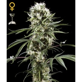 Super Lemon Haze - GreenHouse Seeds femminizzati