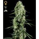 Super Silver Haze - GreenHouse Seeds femminizzati