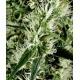 Super Silver Haze - GreenHouse Seeds femminizzati GreenHouse Seeds €24,00