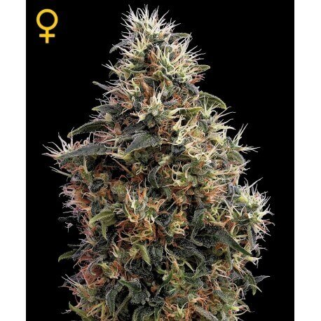 Sweet Mango Autofiorenti - GreenHouse Seeds femminizzati