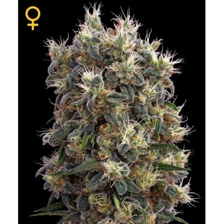 The Church - GreenHouse Seeds femminizzati GreenHouse Seeds €17,50