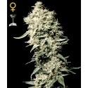 White Rhino - GreenHouse Seeds femminizzati
