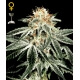 White Widow - GreenHouse Seeds femminizzati GreenHouse Seeds €29,00