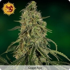 Grape Ape - Barney's Farm femminizzati