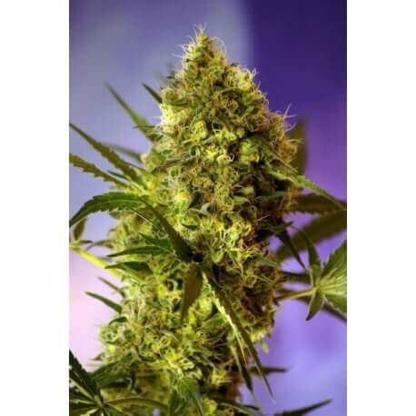 Big Devil Auto - Sweet Seeds femminizzati Sweet Seeds €19,90