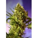 Big Devil Auto - Sweet Seeds femminizzati