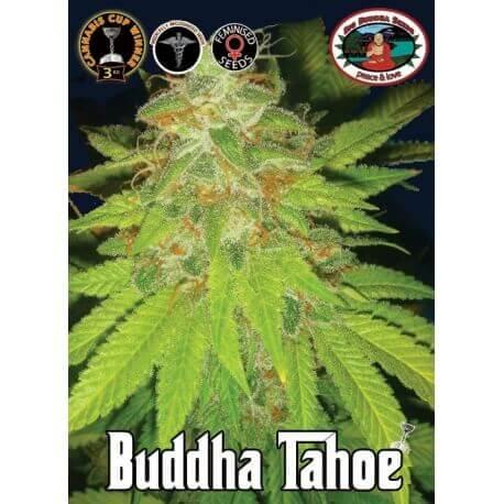 Buddha Tahoe - Big Buddha Seeds femminizzati Big Buddha Seeds €35,00
