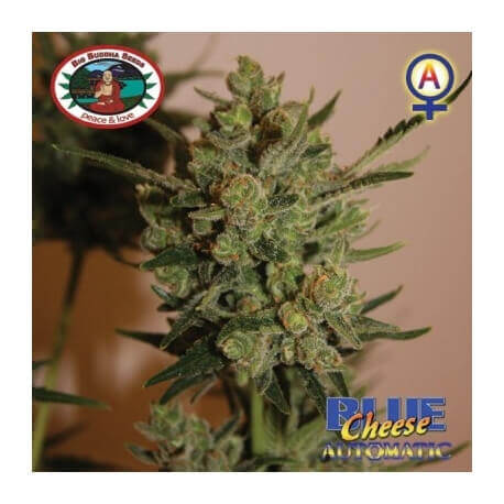 Blue Cheese Auto - Big Buddha Seeds femminizzati Big Buddha Seeds €33,00