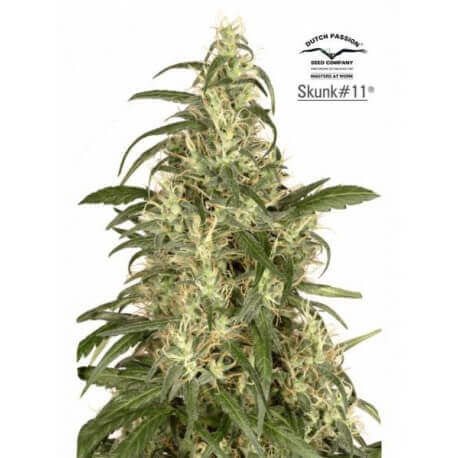 Skunk 11 - Dutch Passion femminizzati Dutch Passion €17,00