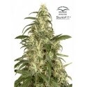 Skunk 11 - Dutch Passion femminizzati