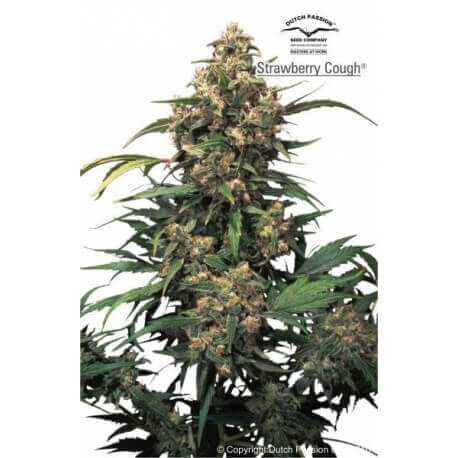 Strawberry Cough - Dutch Passion femminizzati Dutch Passion €27,00