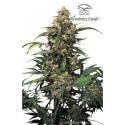 Strawberry Cough - Dutch Passion femminizzati