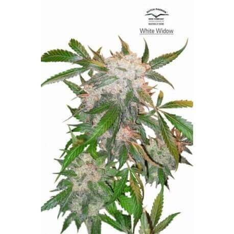 White Widow - Dutch Passion femminizzati Dutch Passion €33,00
